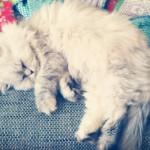 Fifi mon chat persan