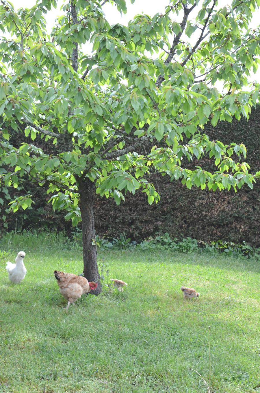 Les poules à la campagne