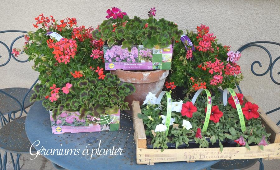 Géraniums à planter