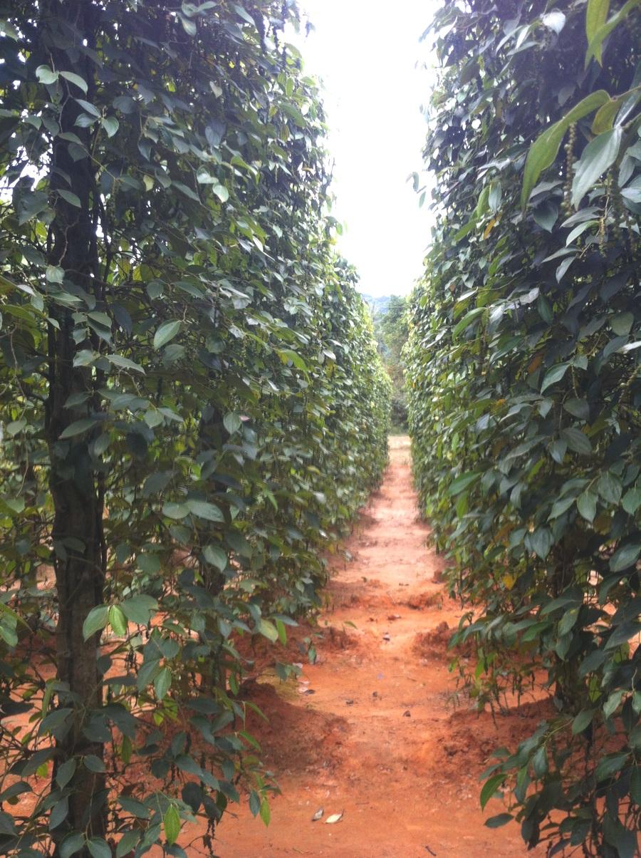 Plantation de poivre à Phu Quoc