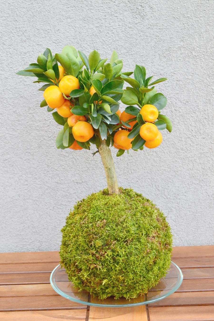 Kokedama Citrus