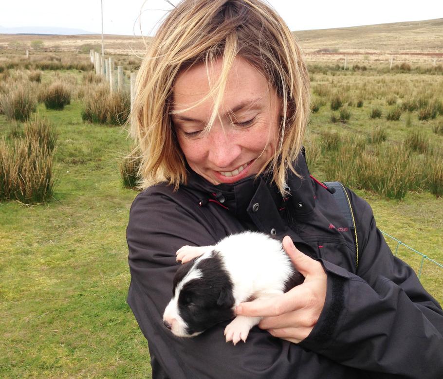 Un Border Collie chiot, futur chien de berger