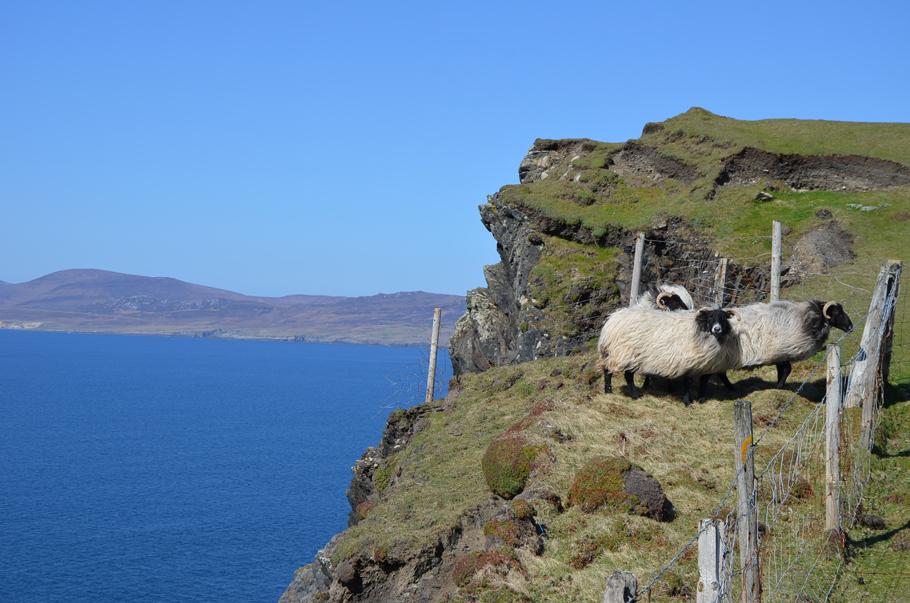 Les moutons sur les falaises de Clare Island