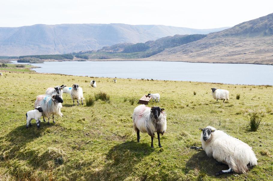Les moutons en Irlande