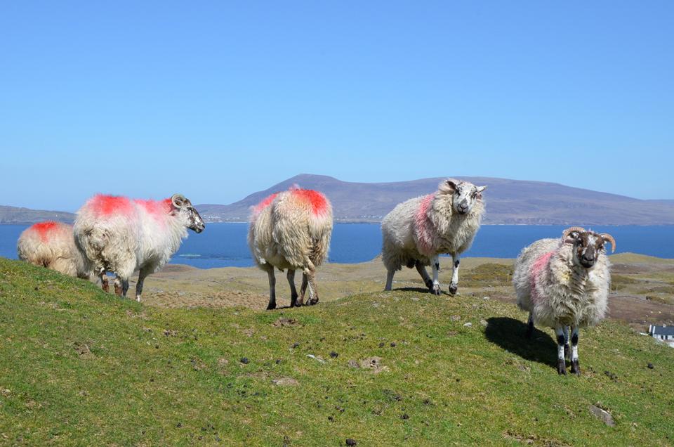 Les moutons de Clare Island