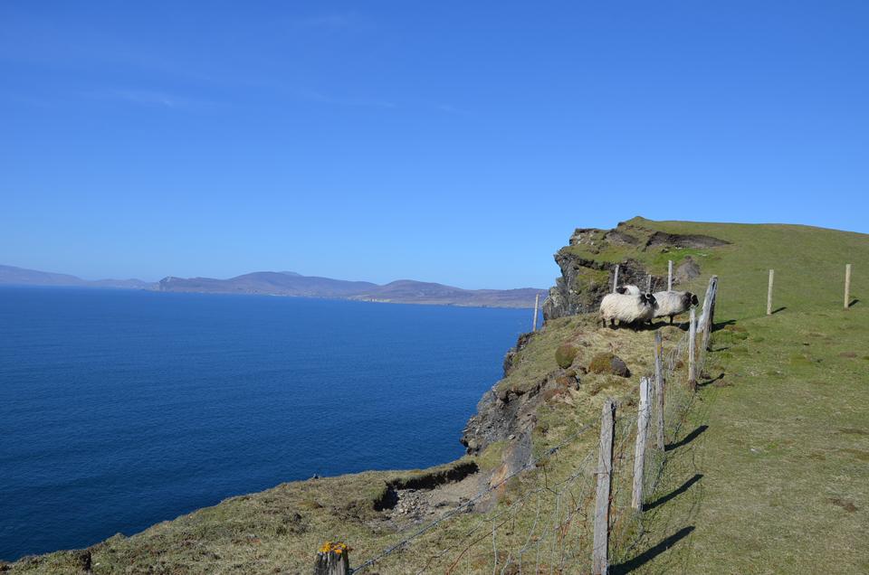 Les moutons à flanc de falaise à Clare Island