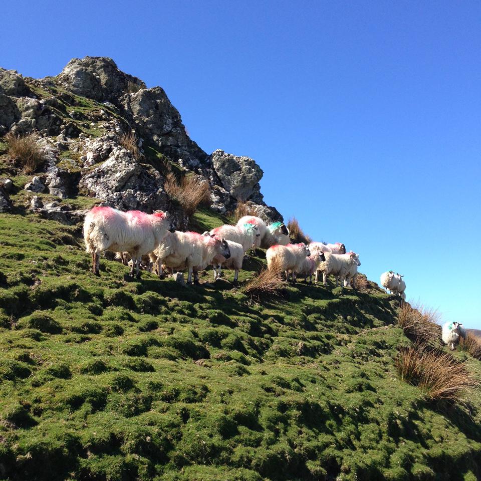 Les moutons en pleine nature