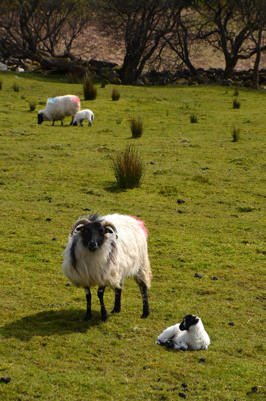 Les moutons d'Irlande