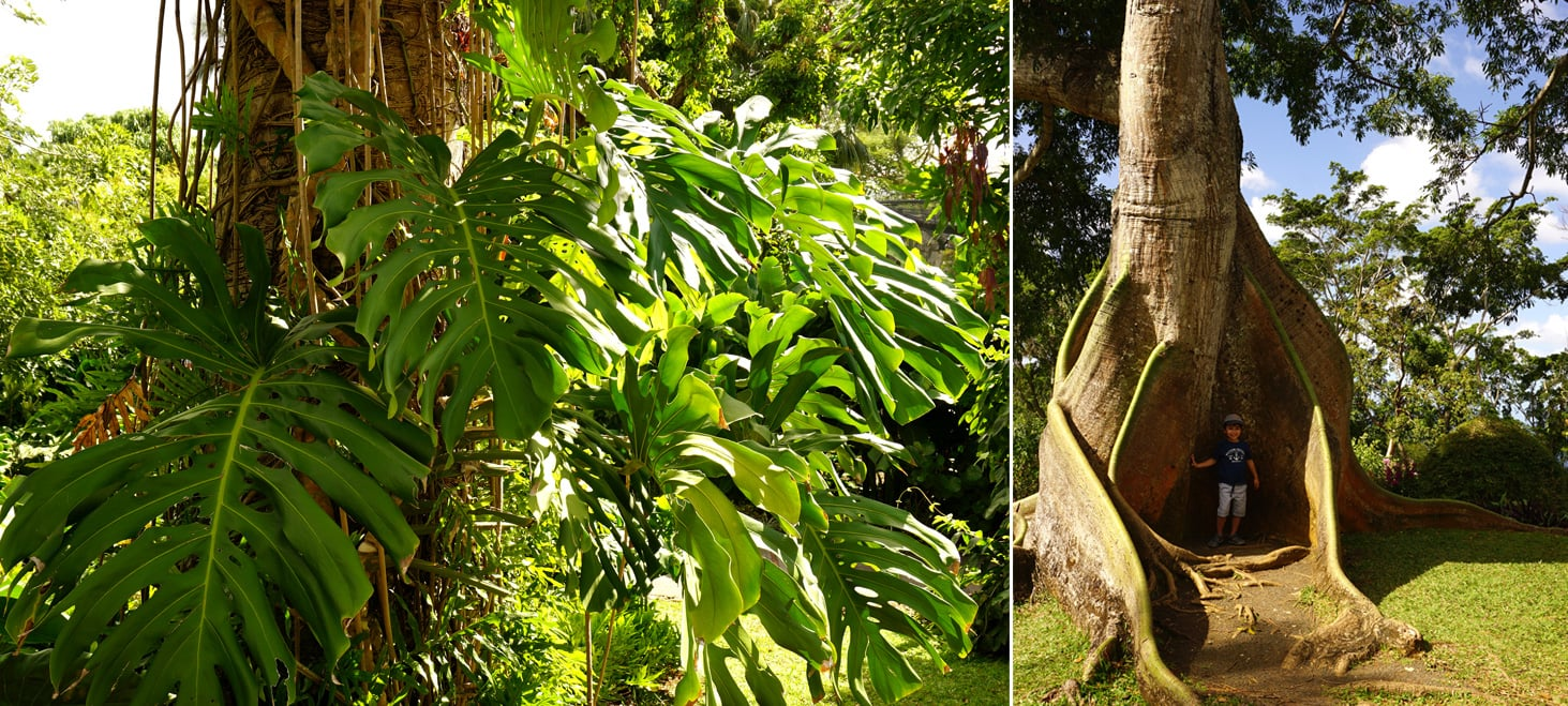 Fromager et Monstera au jardin botanique de Deshaies