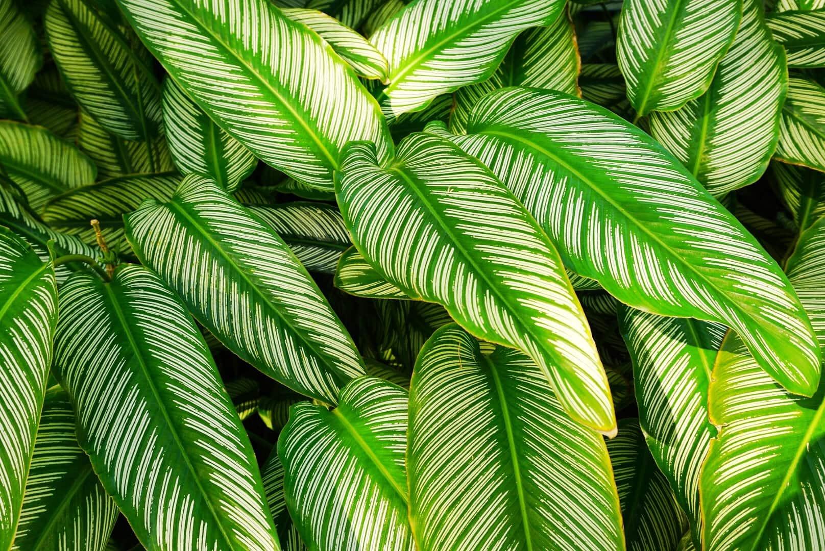 Plante Calathea - Jardin botanique de Deshaies