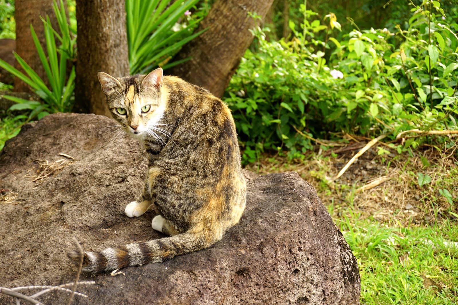 Chat guadeloupe