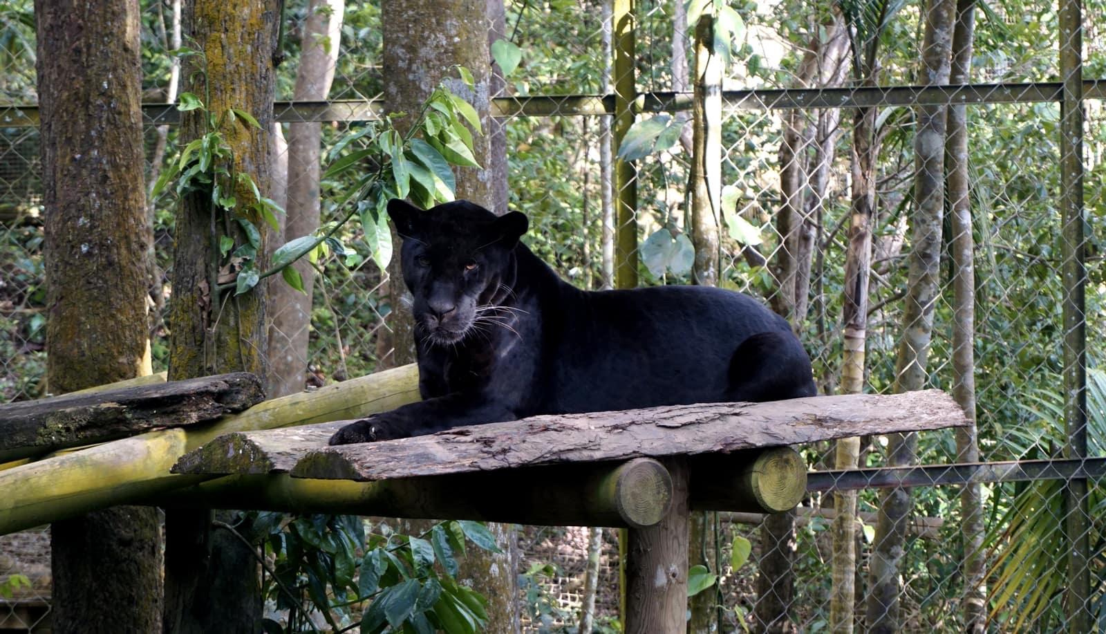 Parc des Mamelles Guadeloupe : jaguar noir