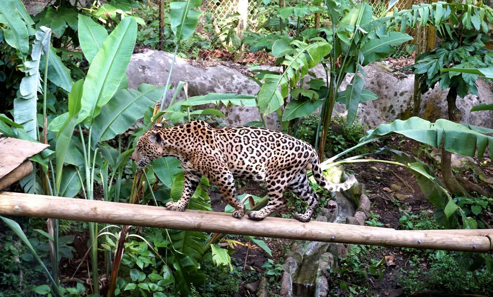 Parc des Mamelles Guadeloupe : jaguar