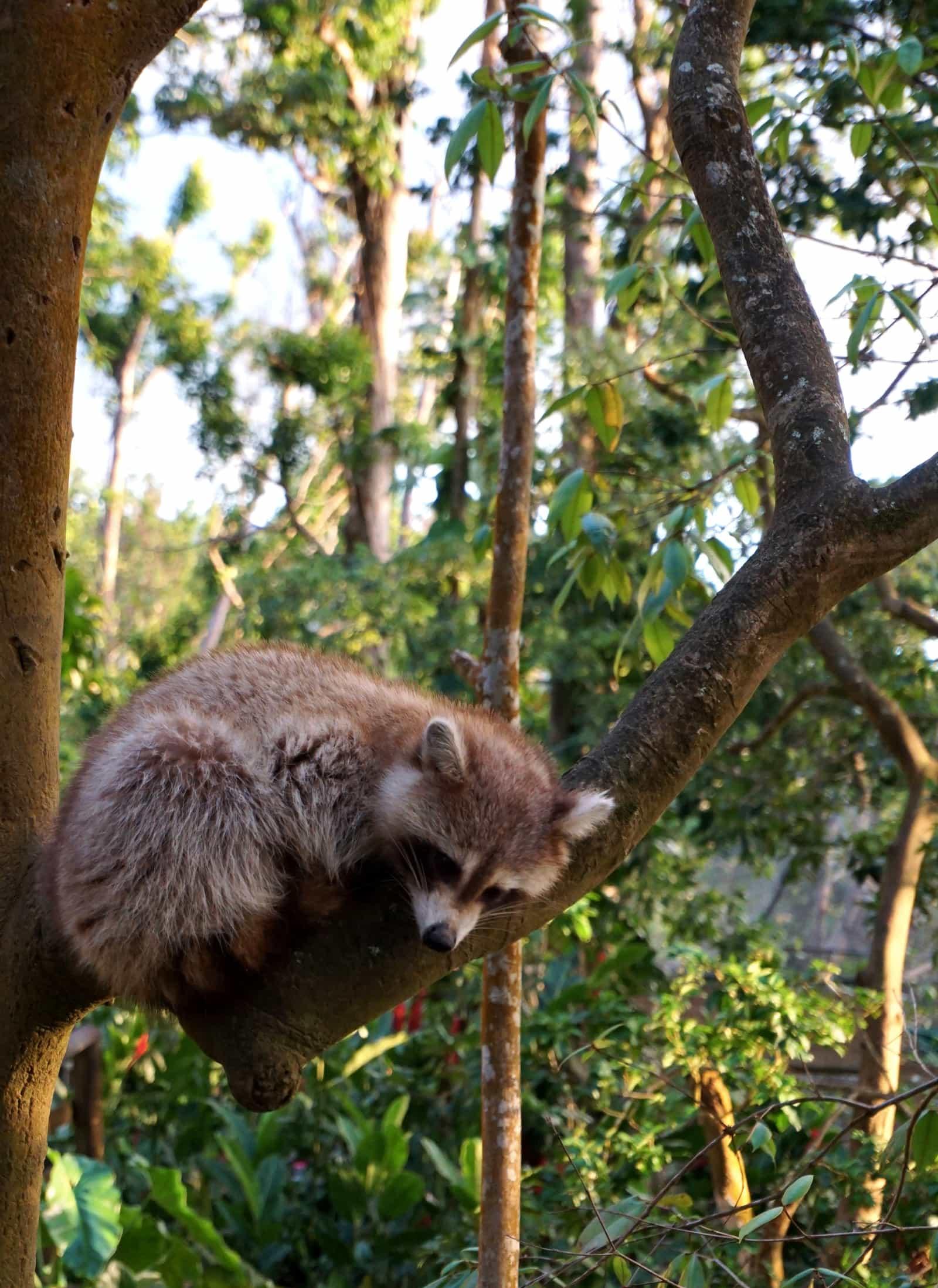 Un racoon qui dort dans un arbre au parc des Mamelles